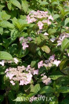 Hydrangea serrata 'Beni Gaku' - rapid growth 4' x 4'