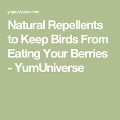 Natural Repellents to Keep Birds From Eating Your Berries - YumUniverse
