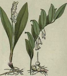 http://chestofbooks.com/flora-plants/flowers/Woodland-Blossoms/Lily-Of-The-Valley-Convallaria-Majalis-Solomon-s-Seal-Polygonatum-Multifloru.html