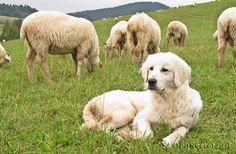 Фото: Польская подгалянская овчарка