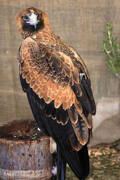 ♥ Wedge-tailed Eagle ~ Aquila audax