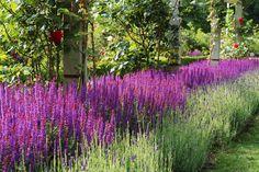 Praktfullt blommande stäppsalvia av sorten 'Ostfriesland', som under- och kantplantering till klätterrosor. När salvian blommat över så tar lavendeln vid. 'Ostfriesland' har rödvioletta stödblad medan blommorna är mer åt det blå hållet, vilket ger en livlig och intressant färgskiftning. Efter blomningen så håller stödbladen sin färg och är fortsatt dekorativ.