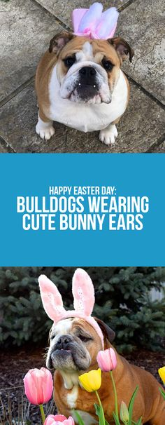 Keep the fun on our blog post!  #bulldogs #easter #bunny #ears #animals #dogs