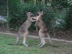 wooooooo!!!!!!!!!! 2 kangoeroes die tegen elkaar vechten!!!!!dit moet je echt volgen,of zien!!!!!!!!