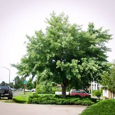 Silver Maple Tree For Sale | The Tree Center™