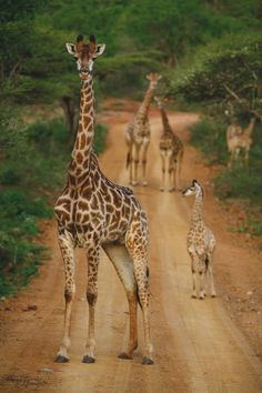 that tall standing giraffe . made me smile coz of its stare Animals And Pets, Baby Animals, Funny Animals, Cute Animals, Baby Elephants, Wild Animals, Giraffe Art, Cute Giraffe, Giraffe Drawing