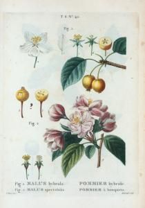 Fig. 1. Malus hybrida = Pommier hybride. Fig. 2. Malus spectabilis = Pommier à bouquets. [Flowering crab apple - Chinese flowering apple] - ID: 1110438 - NYPL Digital Gallery