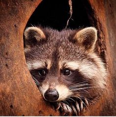 Raccoons only ;)                                                                                                                                                     More