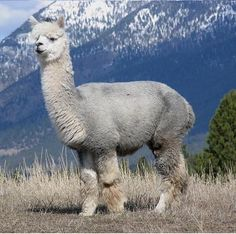 Alpaca in the Mountains - #Alpacas