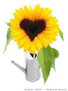 lovely sunflower...