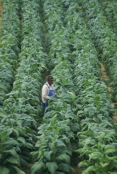 Willie Greeninge verifica suas plantas de tabaco em sua fazenda em Chatham, VA.