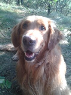 That is Larry, my lovely golden!