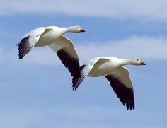 Geese | Geese Wallpapers | Fun Animals Wiki, Videos, Pictures, Stories