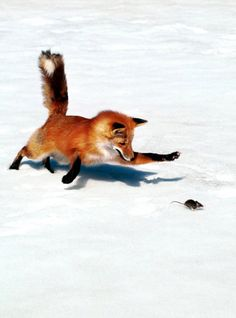 fox (Jackson my border collie uses this technique.  it's amazing)