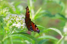 Schmetterling Pfauenauge Romantik
