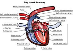 Heart Murmurs  ~ In other cases, where a pet may be used for breeding, a murmur may indicate the presence of a hereditary defect that could be passed on to p...