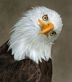 Quizzical eagle is...quizzical.