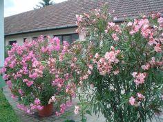 A három fő titok mellett egy meglepő tény is kiderül a leander magvetéséről. Flowers, Plants, Gardening, Shape, Shrubs, Garten, Flora, Plant, Bloemen