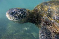 Green Sea Turtle - Galapagos Islands, Ecuador