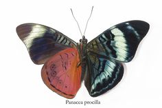 Procilla Beauty Butterfly, Panacea procilla, photography by:  Darrell Gulin