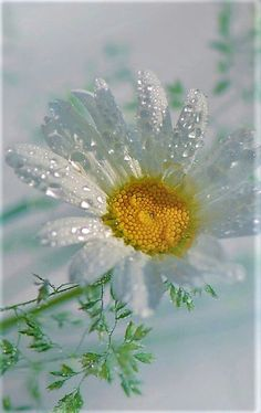 Water Droplets, Flower Photos, Country Life, Planting Flowers, Beautiful Flowers, Daisy, Wallpaper, Macros, Photography