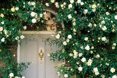 Climbing plants that love the shade | The Times Rosa Alberic Barbier