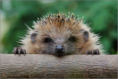 Over 30 pictures of Baby Hedgehogs. Check out this article for the cutest collection of Baby Hedgehog Pictures you could find! Baby Animals, Funny Animals, Cute Animals, Cute Hedgehog, Hedgehog Diet, Hedgehog Facts, Pygmy Hedgehog, Tier Fotos, Mundo Animal