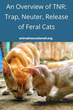 For anyone not familiar with TNR, here is an overview, including several questions answered. Tnr Cats, Feral Cats, Foster Animals, Animals And Pets, Cat Care Tips, Pet Care, Pet Sitters International, Pregnant Cat, Cat Health