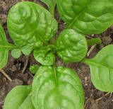 Spinach -- perfect edible shade crop