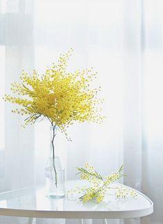 Mimosa / Julia Davila-Lampe