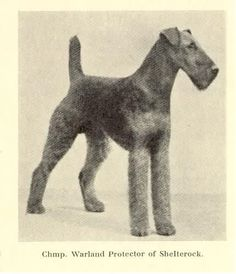 *1933 - Ch. Warland Protector of Shelterock was Best in Show at the 1933 Westminster Kennel Club Dog Show.