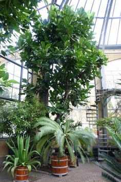 Ficus Lyrata in Greenhouse - Ryan Somma/Flickr/CC BY-SA 2.0