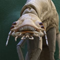 EYE OF SCIENCE / SCIENCE PHOTO LIBRARY / GETTY IMAGES Diving beetle larva (Dytiscidae sp.) This four-eyed alien-like face, belonging to the larva of a water-dwelling beetle, can be the last thing a tadpole sees before it's snapped up and eaten.
