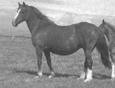 North Forks Black Earl Welsh Cob; DERWEN QUEEN, ch. M, 1969 by HENDY BRENIN ex DERWEN ROSINA