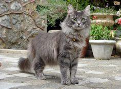 Afbeeldingsresultaat voor cat breeds list with pictures