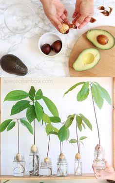 Indoor Garden, Indoor Plants, Indoor Outdoor, Home Plants, Avocado Plant From Seed, Growing Avacado From Seed, Grow Avocado From Pit, Permaculture, Growing An Avocado Tree
