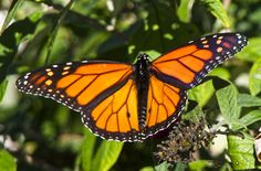 https://flic.kr/p/N1Woyp | Monarch Butterfly