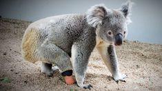 New limb for Triumph, the koala born with missing foot, thanks to Lismore dental prosthetist - ABC News Australian Garden, Abc News, Good News, Bbc, Abandoned, Dental, Thankful, Creatures, Animals