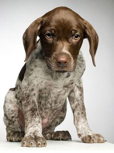 German Shorthaired Pointer Puppies are a breed that is well known for hunting. Check out some german pointer puppy pictures. German Pointer Puppy, Pointer Puppies, German Shorthaired Pointer, Pointer Dog, English Pointer, Baby Dogs, Pet Dogs, Dog Cat, Doggies