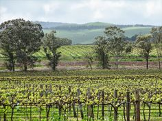 Spring in the Barossa Valley