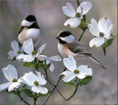 Chickadees in dogwood tree