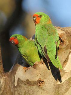 Little Lorikeets, Australia