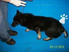 Kalfka is at the Raveena KY estill cp as  259. I named him so ask for that #.  He's a sweet sweet fun loving puppy.