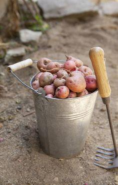 Picking red potatoes