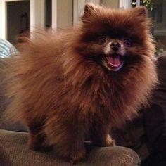 Happy dog #Pomeranian #brown