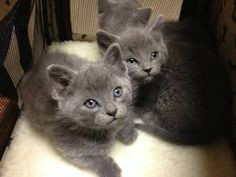 Luna, Lola, Loki is an adoptable Domestic Short Hair-Gray Cat in Chicago, IL. Luna (female), Lola (female), and Loki (male) are three nine week old siblings who were rescued when they were found livin...