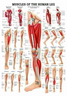 Muscles of the Leg Laminated Anatomy Chart by Anatomical Worldwide: The Muscles of the Leg Anatomy Chart is a beautiful and newly available highly educational chart from Anatomical Worldwide. Leg Muscles Anatomy, Leg Anatomy, Muscle Anatomy, Thigh Muscles, Human Leg, Human Body, Human Anatomy And Physiology, Massage Therapy, Physical Therapy