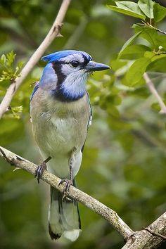 Morning Jay - Blue Jay bird.