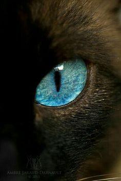 Beautiful siameses cat eye