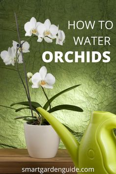 How to water phalaenopsis orchids. This article will teach you the essential tip. - How to water phalaenopsis orchids. This article will teach you the essential tips for watering orch - Indoor Orchid Care, Orchid Plant Care, Phalaenopsis Orchid Care, Indoor Orchids, Orchids Garden, Orchid Plants, Indoor Plants, Indoor Gardening, Container Gardening
